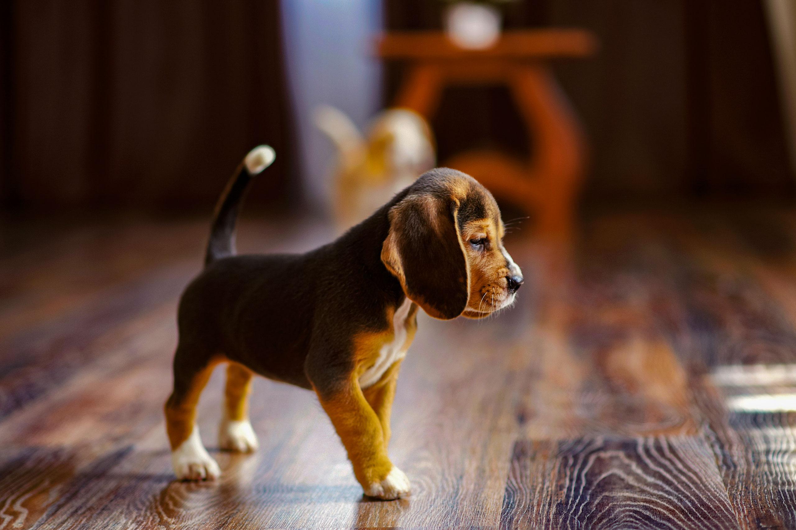 puppy on hardwood floor